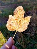 Beautiful fallen leaf in hand royalty free stock photo