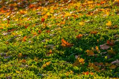 Beautiful fallen maple leaves on green grass tubercles, mounds – late summer – early autumn royalty free stock photo