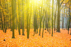 Beautiful fallen park in the sunny forest Royalty Free Stock Images