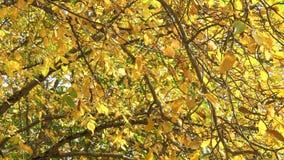Beautiful falling leaves in windy autumn day. 422 10 bit 4k stock footage