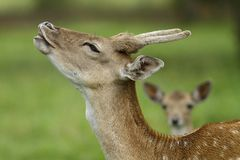 Beautiful fallow deer Royalty Free Stock Photos