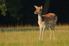 Fallow deer female on pasture Royalty Free Stock Photography
