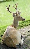 Beautiful fallow deer resting Royalty Free Stock Image
