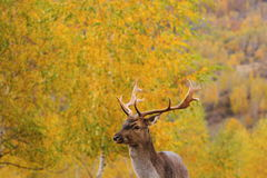 Beautiful fallow deer stag Royalty Free Stock Photo