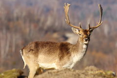 Beautiful fallow deer stag in clearing. Looking towards the camera ( Dama dama Royalty Free Stock Image