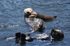 Beautiful Family of Floating Sea Otters on Their Backs royalty free stock photography
