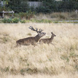 Beautiful Family group herd of red deer stag cervus elaphus duri Royalty Free Stock Photography