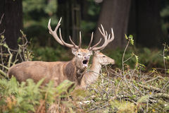 Beautiful Family group herd of red deer stag cervus elaphus duri Royalty Free Stock Photos