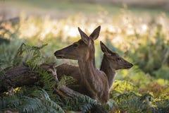 Beautiful Family group herd of red deer stag cervus elaphus duri Stock Images