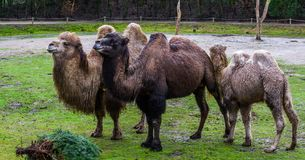 Beautiful family portrait of bactrian camels in diverse colors, Domesticated animals from Asia. A beautiful family portrait of bactrian camels in diverse colors royalty free stock photos