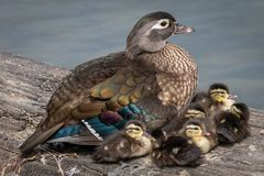 Beautiful family of wood ducks.  Royalty Free Stock Photo