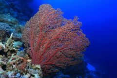 Beautiful fan coral. Underwater in the Osprey reef in the Coral sea close to Australia stock images