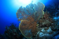 Beautiful fan coral. Underwater in the Osprey reef in the Coral sea close to Australia royalty free stock photo