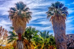 Beautiful Fan Palm Trees in Joshua Tree Royalty Free Stock Images