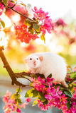 Beautiful fancy rat sitting in rose apple blossom Royalty Free Stock Photo