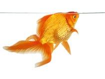 Beautiful fantail goldfish Stock Photos