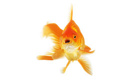 Beautiful fantail goldfish Stock Photo