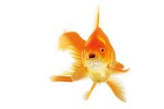 Beautiful fantail goldfish Stock Photo