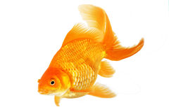 Beautiful fantail goldfish Royalty Free Stock Photo