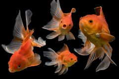 Beautiful fantail 4 goldfish action, Capture swimming golden fish