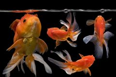 Beautiful fantail 4 goldfish movement with bubbles, Capture swimming golden fish. On darkness background stock photo