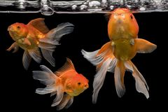 Beautiful fantail 3 goldfish movement, Capture swimming golden fish. On dark background royalty free stock photography