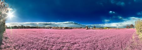 Beautiful fantasy infrared landscape with trees in a forest and fields and lots of purple elements and a deep blue sky royalty free stock image