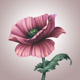 Beautiful fantasy pink poppy flower Royalty Free Stock Photos