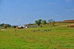 Beautiful Farm in the Countryside. In the early autumn countryside of rolling hills is a herd of cows and a large dairy farm Stock Image