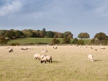 Beautiful farm field with sheep grazing on grass summer day Royalty Free Stock Photos