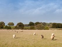 Beautiful farm field with sheep grazing on grass summer day Royalty Free Stock Photo