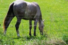 Beautiful Farm Horse Feeding On Green Grass Stock Images