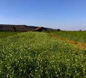 Beautiful farmland and landscape, samarda, Bhopal, India. Beautiful farmland and landscape, pea farming, range of samarda forest, Bhopal, MP, India royalty free stock photos