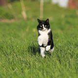 Beautiful fast cat fun running on green summer meadow jumping hi. Gh Stock Photos