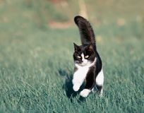 Beautiful fast cat fun running on green summer meadow jumping hi. Gh Stock Images