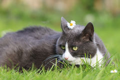 Beautiful fat lady. Chubby obese fluffy cute cat with a daisy on her head being beautiful in the garden stock images