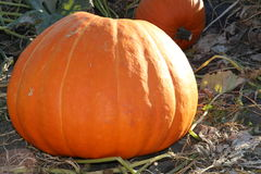 Beautiful fat pumpkin- front cover of magazine. A beautiful orange pumpkin patch front cover. Pumpkins make a great front cover for the autumn and fall season stock photo
