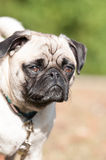 Beautiful fawn pug. A good fawn pug waiting patiently Royalty Free Stock Images