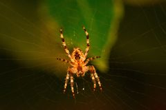 Th beautiful but fearsome spider. A beautiful but fearsome spider settled in its web after skilfully constructed it to trap its food royalty free stock images