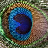 Beautiful feather of a peacock Royalty Free Stock Image