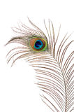 Beautiful feather of a peacock isolated on white Royalty Free Stock Photography