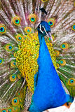 Beautiful Feathers Stock Photography
