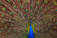 Beautiful feathers shows. Amazing indonesia peacock Royalty Free Stock Photo