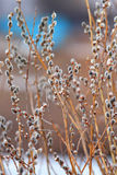 Beautiful feathery branches of a willow blossomed Stock Photos