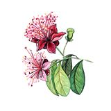 Feijoa flower hand drawn illustration. Beautiful feijoa flower hand drawn illustration. Freehand floral color pencil drawing. Blooming plant realistic sketch stock illustration