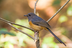 Beautiful female bird White Rumped Shama  or Copsychus Malabaricus Royalty Free Stock Photos