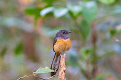 Beautiful female bird White Rumped Shama or Copsychus Malabaricus Stock Image