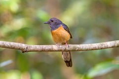 Beautiful female bird White Rumped Shama or Copsychus Malabaricus Royalty Free Stock Photography