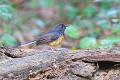 Beautiful female bird White Rumped Shama or Copsychus Malabaricus Stock Images
