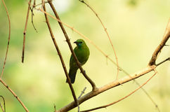 Female blue-winged leafbird Royalty Free Stock Photos